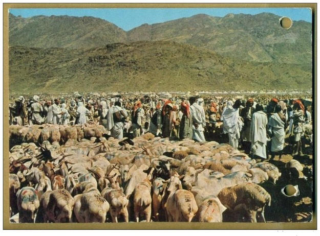 Qurbani Cattle, during Haj in Saudia Arabia